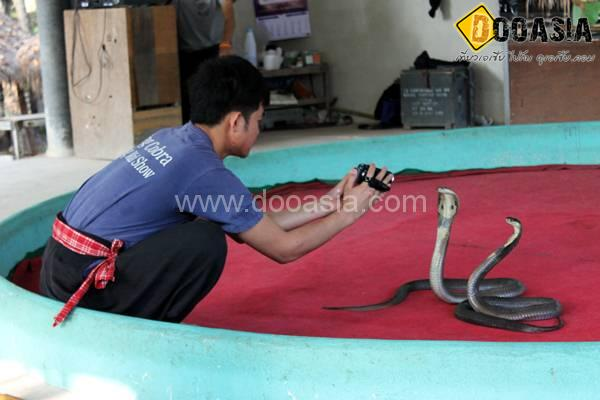 king-cobra (13)