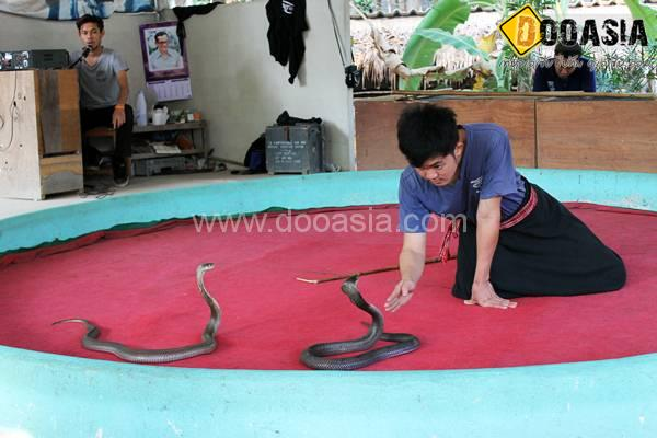 king-cobra (15)