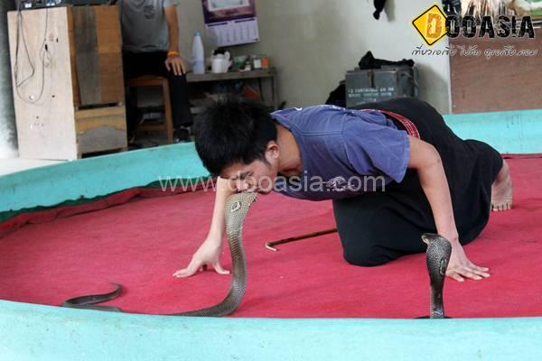 king-cobra (16)
