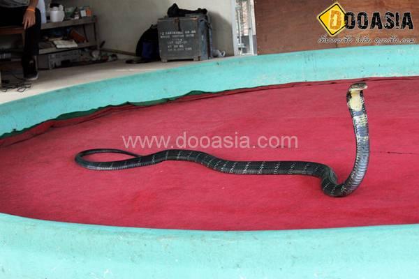 king-cobra (20)