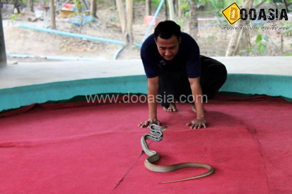 king-cobra (24)