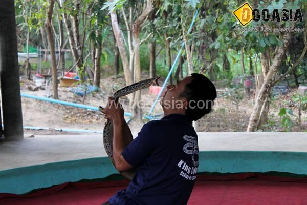 king-cobra (25)