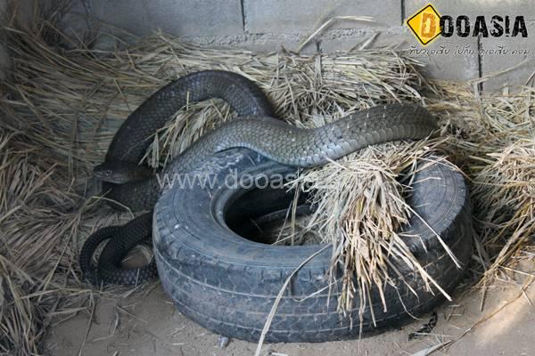 king-cobra (8)