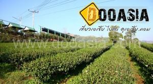 tea-garden101 (1)