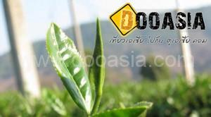 tea-garden101 (18)