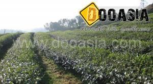 tea-garden101 (19)