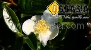 tea-garden101 (2)