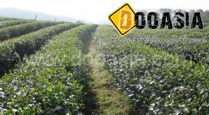 tea-garden101 (20)