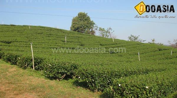tea-garden101 (23)