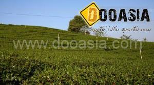 tea-garden101 (3)