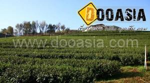 tea-garden101 (4)