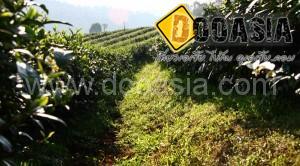 tea-garden101 (6)