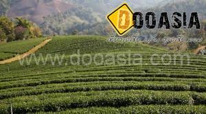 tea-garden101 (7)