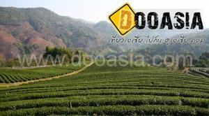 tea-garden101 (8)