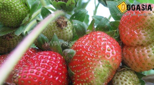 strawberry-maesai (17)