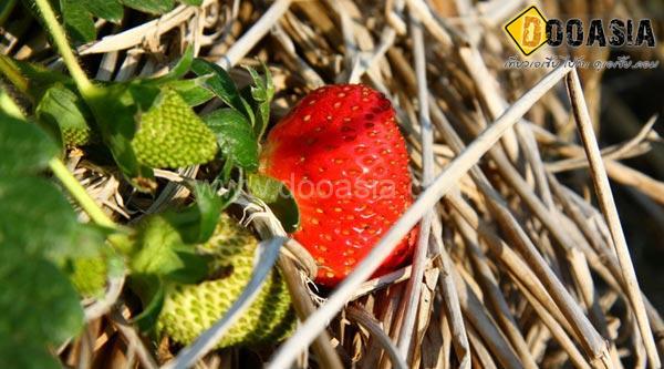 strawberry-maesai (4)